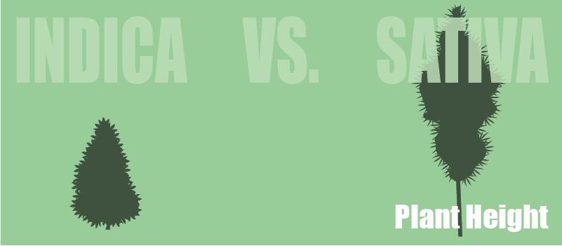 plant height indica vs. sativa