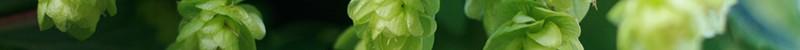 Caryophyllene terpene marijuana
