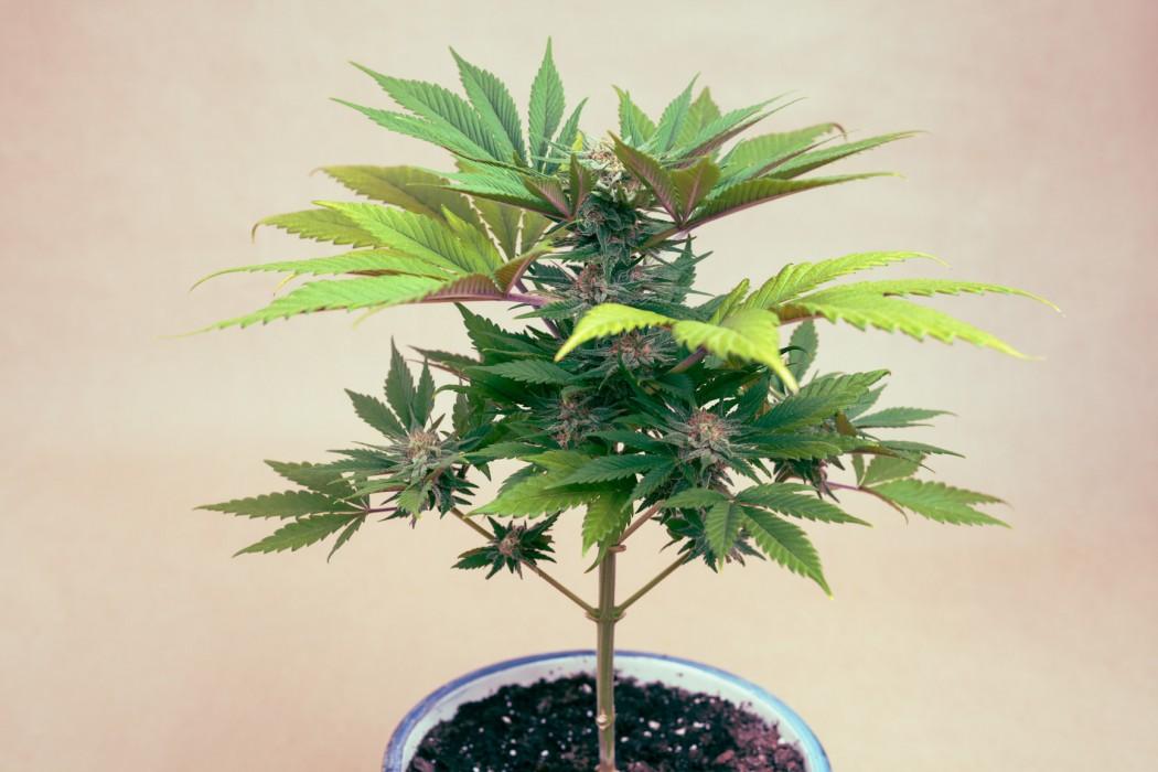 POTENT CANNABINOIDS MARIJUANA BESIDES THC
